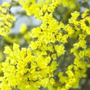 Close-up van geel lamsbloem droogboeket