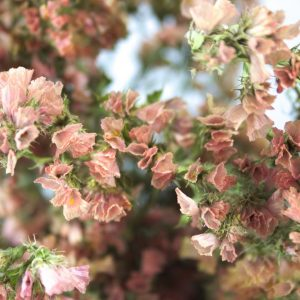 Close-up van oudroze gekleurde lamsoor droogbloemen.