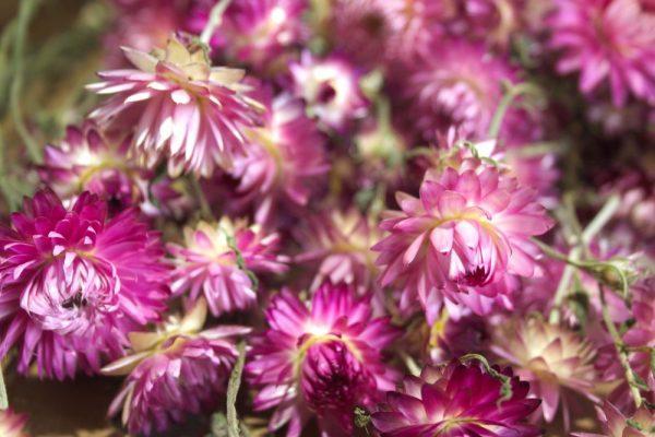 Close-up van donkerroze strobloem droogbloemen