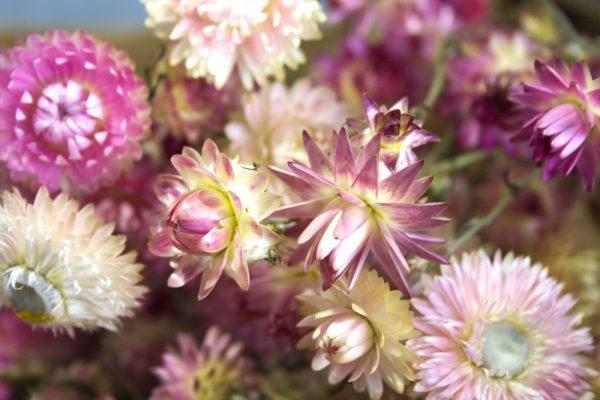 Close-up shallow focus van roze strobloem droogboeket