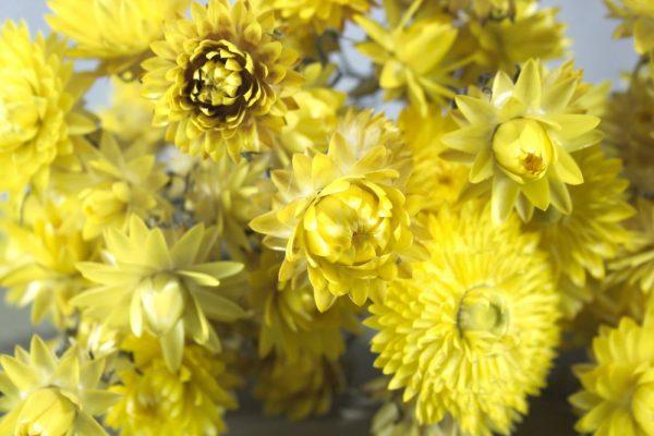 Close-up van strobloem droogbloemen, geel van kleur.