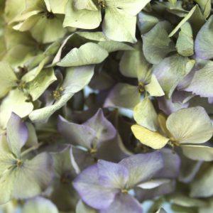 Close-up van gedroogde bloemen van Hortensia