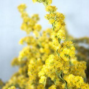 Close-up van gele bloemen van guldenroede, gedroogd