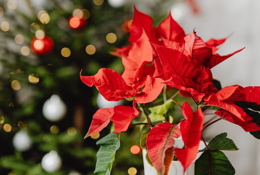 Kerstster (Poinsettia), rood