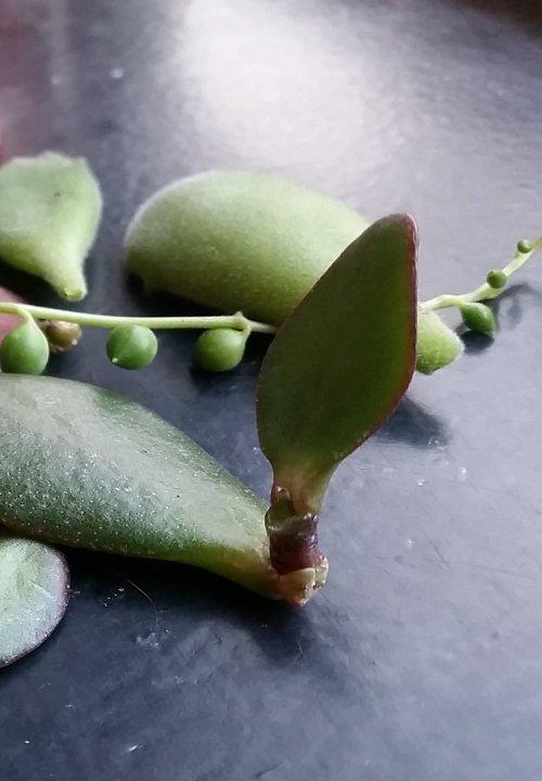 Vetplant stekken   Hoe doe je dat?
