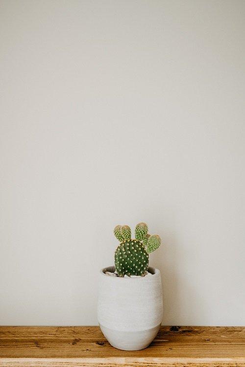 Opuntia microdasys | Konijnenoor cactus verzorgen