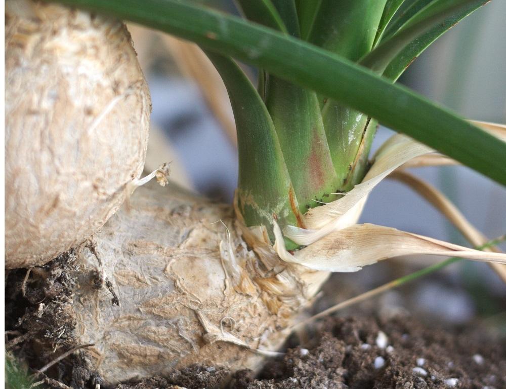 Olifantspoot (Beaucarnea recurvata) | Verzorging & info