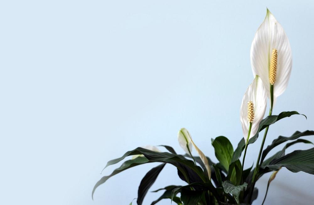Vredeslelie | Spathiphyllum verzorging & info